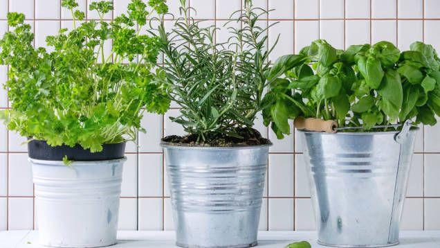 Örtkryddor vi köper i mataffären kan vara svåra att hålla vid liv. Men det finns knep som hjälper dig odla kryddväxter som ger dig färsk basilika och timjan.