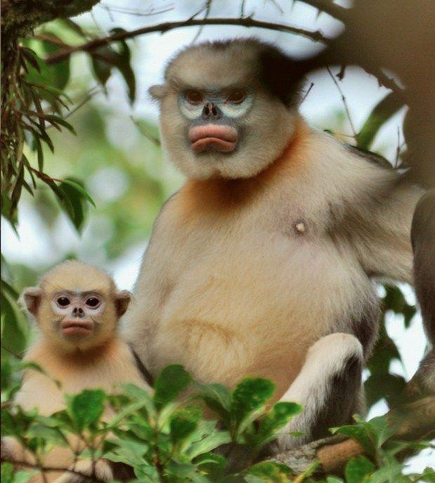 Macaco de nariz arrebitado de Tonkin (www.buzzfeed.com)