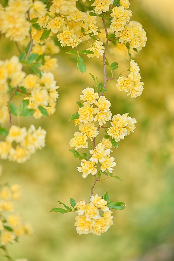 ‿✿⁀°Shades of Yellow°‿✿⁀ Lovely Wild Yellow Roses