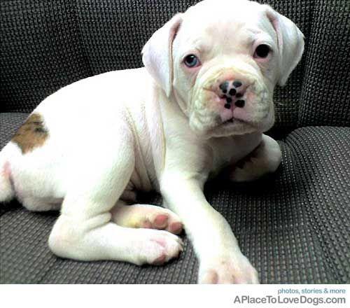 Boxer Puppies #adorable #boxer #puppy