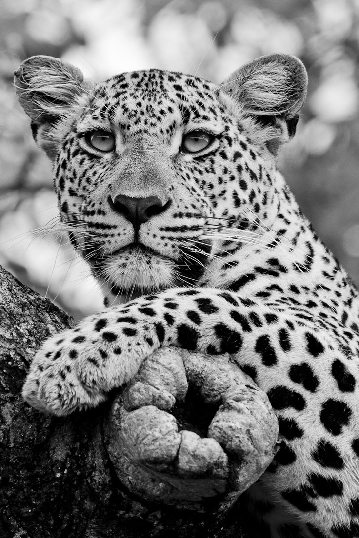 This leopard was photographed on a cloudy day, so I had the vehicle positioned in order to get a soft background for a black and white image. Leopards always make good portrait images in overcast light as their eyes stand out wide and clear.