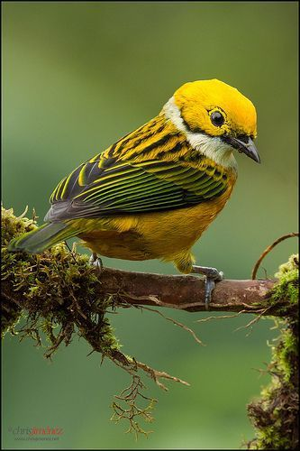 Silver-throated Tanager, Costa Rica, by  Chris Jimenez                                                                                                                                                      More