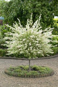 hakuro nishiki dappled willow standard - I have this and keep it rounded in a ball shape. Mine is in shade and it looks like a sparkler. Love it.