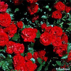 Allotria Bukettros 50-90 cm, 4 st/meter (3-5 i grupp) kontinuerligt blommande Zon 5 tål regn, en av de bästa röda