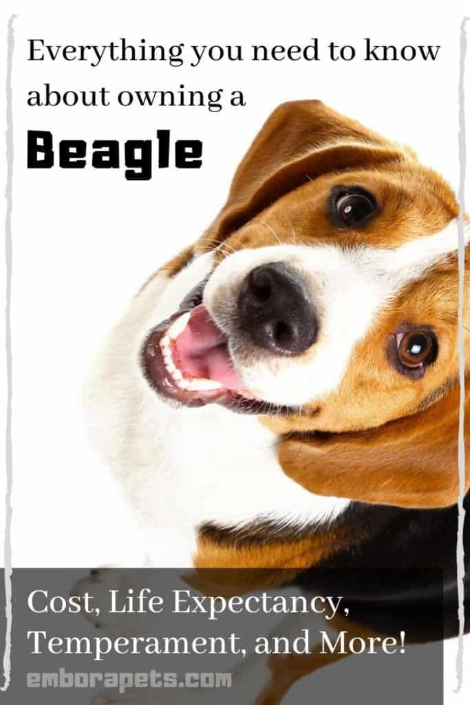 Thinking About Adopting A Pet Beagle Here Is A List Of Everything