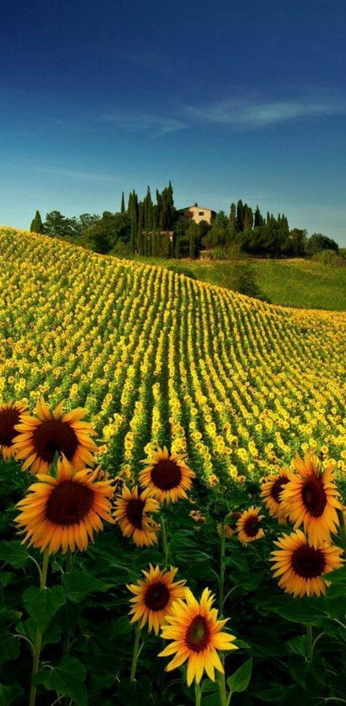 séjour en toscane un champs avec tournesols