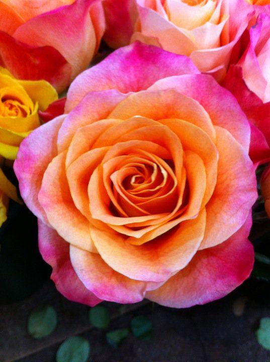 Rose 'Pina colada'