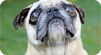 Pismo Beach, CA - Pug. Meet Ceclio, a dog for adoption. http://www.adoptapet.com/pet/14528132-pismo-beach-california-pug