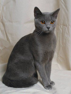 The Chartreux cat. Graceful.