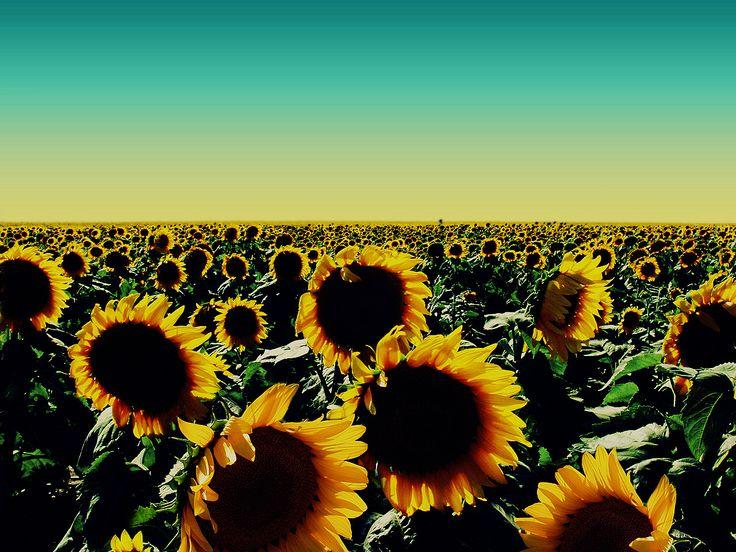 Oklahoma sunflowers. My favorite flower!