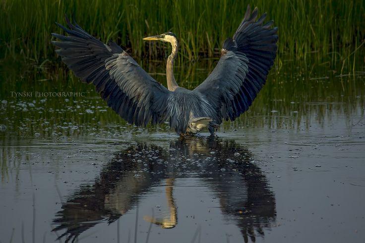 Morning Yoga Heron