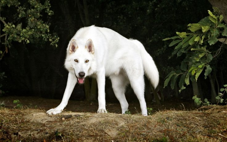 "Northern Inuit Dog - The Wolf - Like Dog | Dog Breed Guide ""Fun Fact: These Large, Wolf-like dogs have recently became popular for portraying the dire wolf in the HBO ""Game of Thrones"" series."
