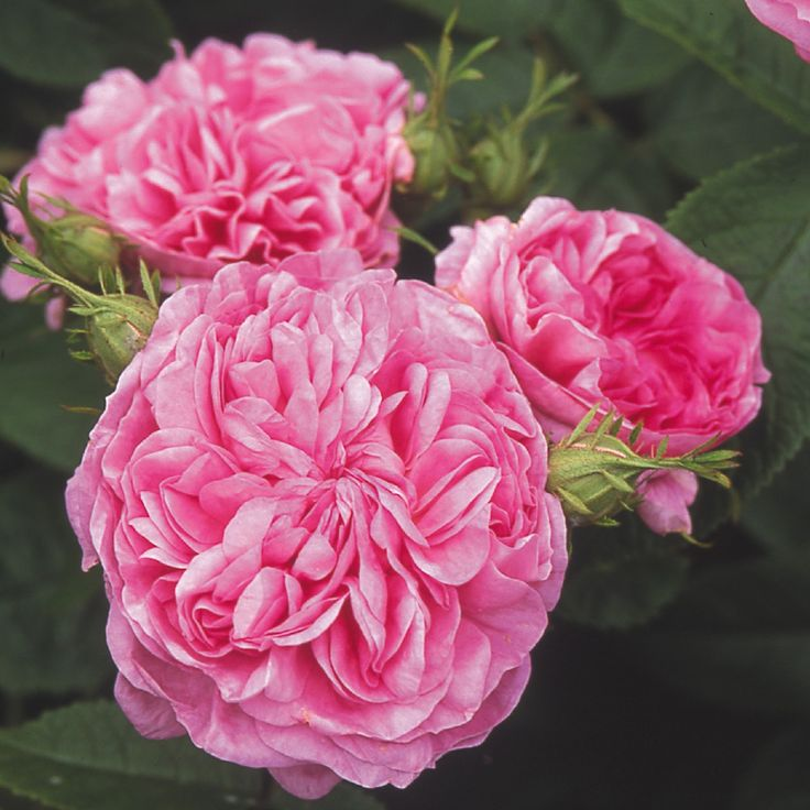 La Ville de Bruxelles (Damask) 1849. One of the finest of the old Damasks, La Ville de Bruxelles produces heavy sprays of rich pink, fully double blooms with a classic sweet fragrance. Grows 5 to 6 feet tall. Learn more at David Austin Roses: https://www.davidaustinroses.com/american/showrose.asp?showr=517