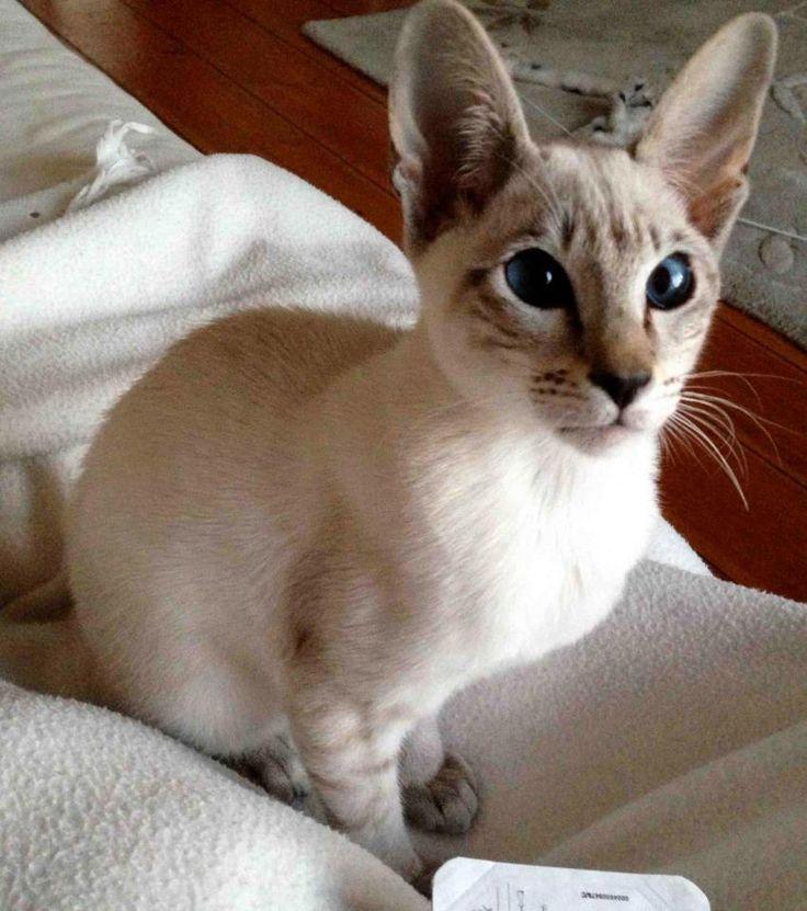 シール, 銀, シャム, 子猫, Balinese
