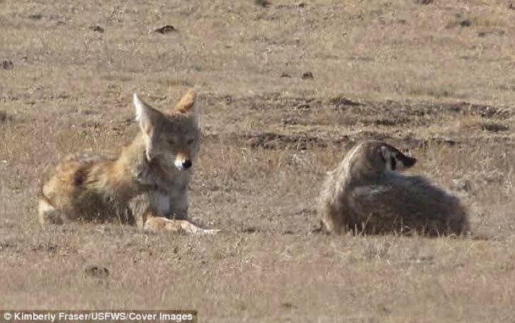 Un coyote y un tejón salvaje se transformaron en la pareja de caza más dispareja de la naturaleza