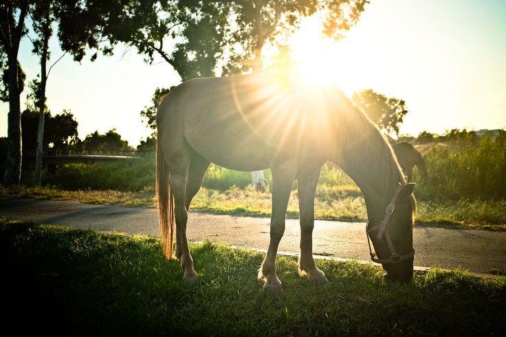 Imagen gratis de un caballo alimentándose > http://imagenesgratis.eu/imagen-gratis-de-un-caballo-alimentandose/