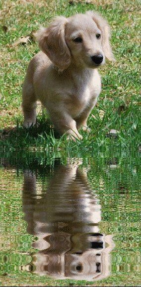 Dachshund golden retriver puppy!  Odd mix but good looking dog.