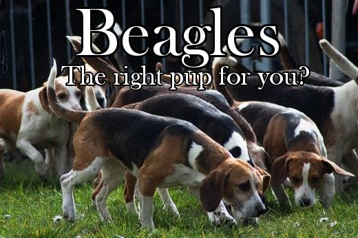 Beagles: Hunting Dog or Family Pet?