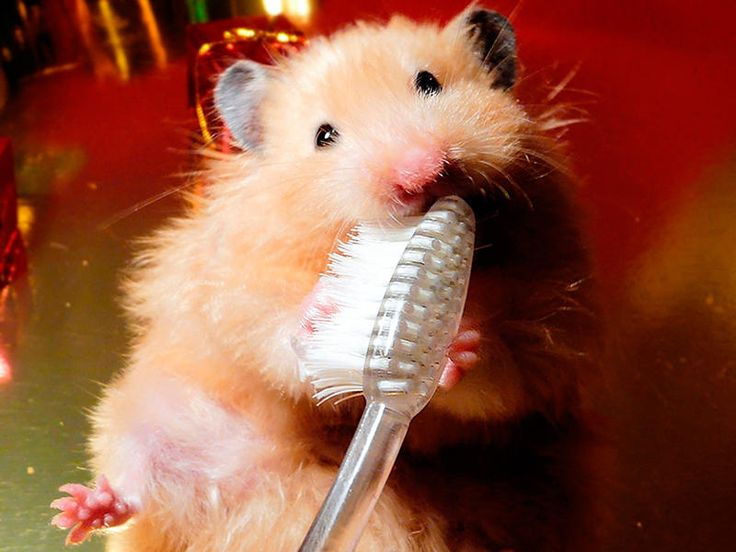 ¡Dientes limpios! (Hamster)