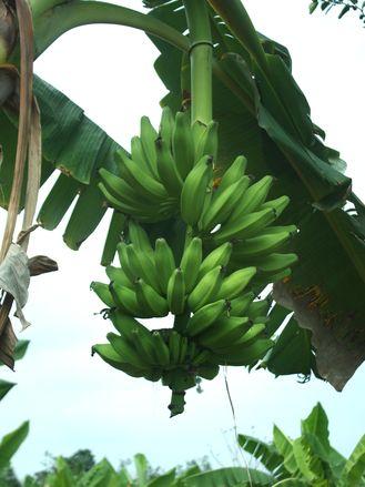 Gluténérzékenyek számára is fogyasztható a zöld banán liszt.  http://glutenmentes-paleoliszt.hu/