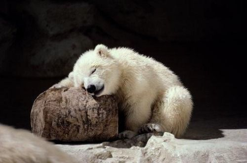 Sleeping Polar Bear Cub                                                                                                                                                      Plus