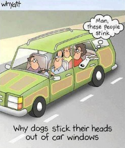 Why dogs stick their heads out of car windows