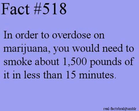 #marijuana fact. In order to overdose on marijuana, you would need to smoke about 1500 pounds of it in less than 15 minutes.