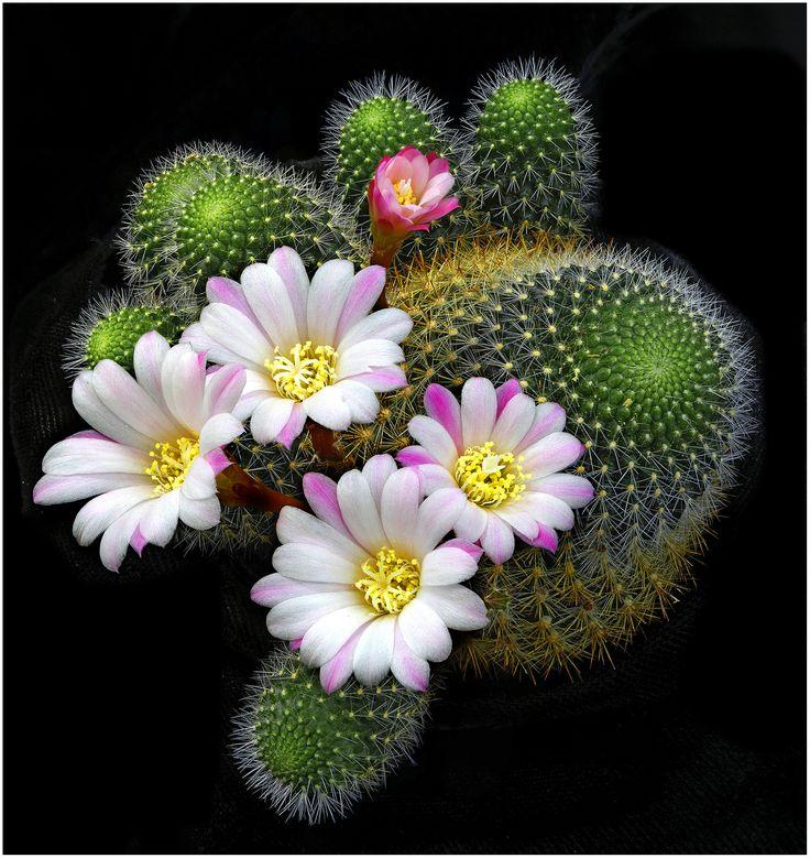 "Cactus Plant (rebutia narvacense) ~ Miks' Pics ""Flowers lll"" board @ http://www.pinterest.com/msmgish/flowers-lll/"