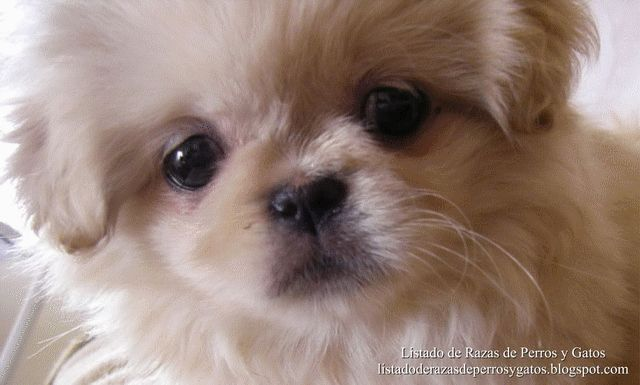 Fotografías de cachorros de Pekineses (Pequineses). Raza de Perros (Photographs of Pekingese puppies. Breed of dogs).