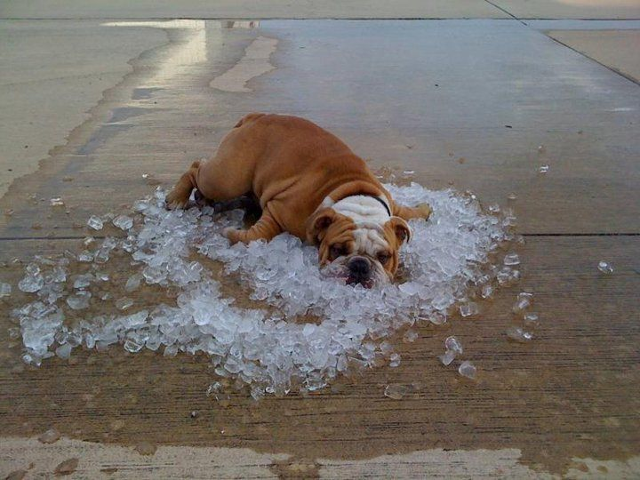 """Elliot had the right idea, This is Elliot, a British Bulldog, and this is an """"un-posed"""" picture (trust me, you couldn't actually make Elliot do anything) of said pooch trying to beat the Maryland heat after his owners emptied their cooler in the driveway in ABERDEEN , MARYLAND"""