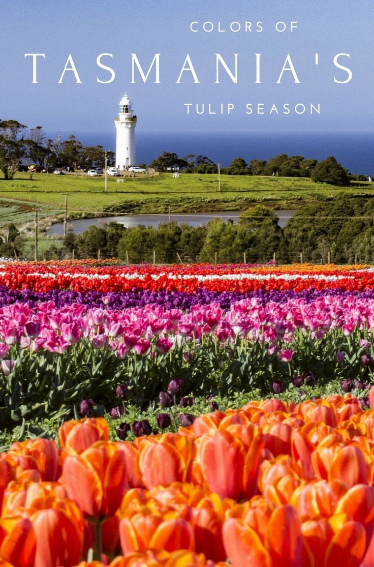 A #tulip farm atop a 12 million year old volcano, acres of patchwork fields explode with color each spring. These are the colors of #Tasmania's tulip season. #Tasmania #Australia #Flowers