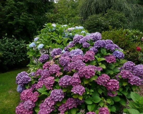 Hydrangeas: Idea, Blue Hydrangeas, Hydrangeasbeauti Colors, French Interiors, Hydrangeas Colors, Landscape Design Pictures, Purple Flowers, Traditional Landscape, Photo
