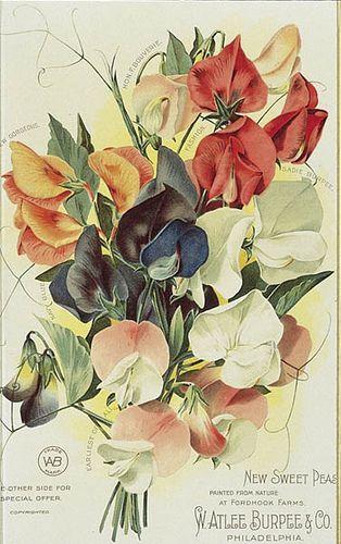 Burpee 1900 Inside Page | by Burpee Gardens. ~~~~~~ervilhas de cheiro # pois de senteur # sweet peas ~~~~
