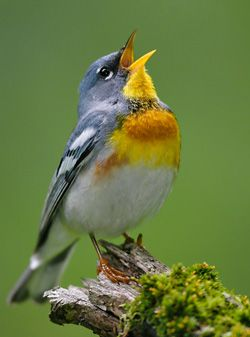 A gorgeous male Northern Parula singing his buzzy song.