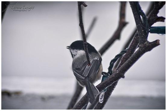 Bird... Chick-a-dee