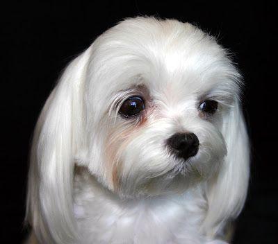 air mata anjing