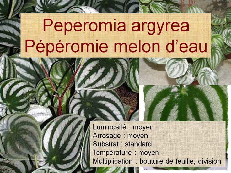 Peperomia argyrea Pépéromie melon d'eau