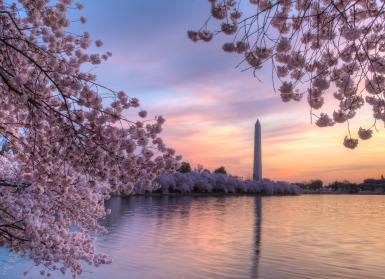 Cherry Blossoms - Photo © Dennis Govoni/Getty Images