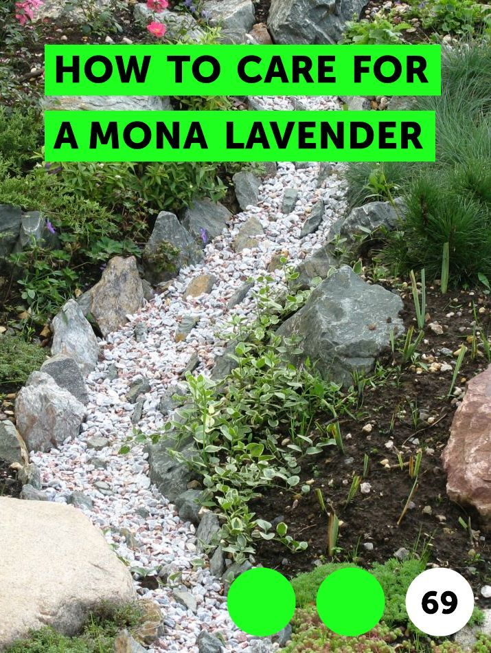 How To Care For A Mona Lavender Grass Seed Types Growing Grass Knockout Roses