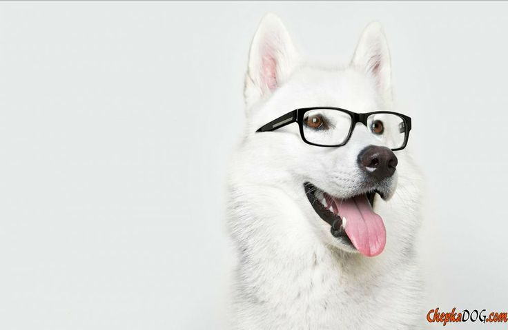 White Swiss Shepherd cheerful and clever dog