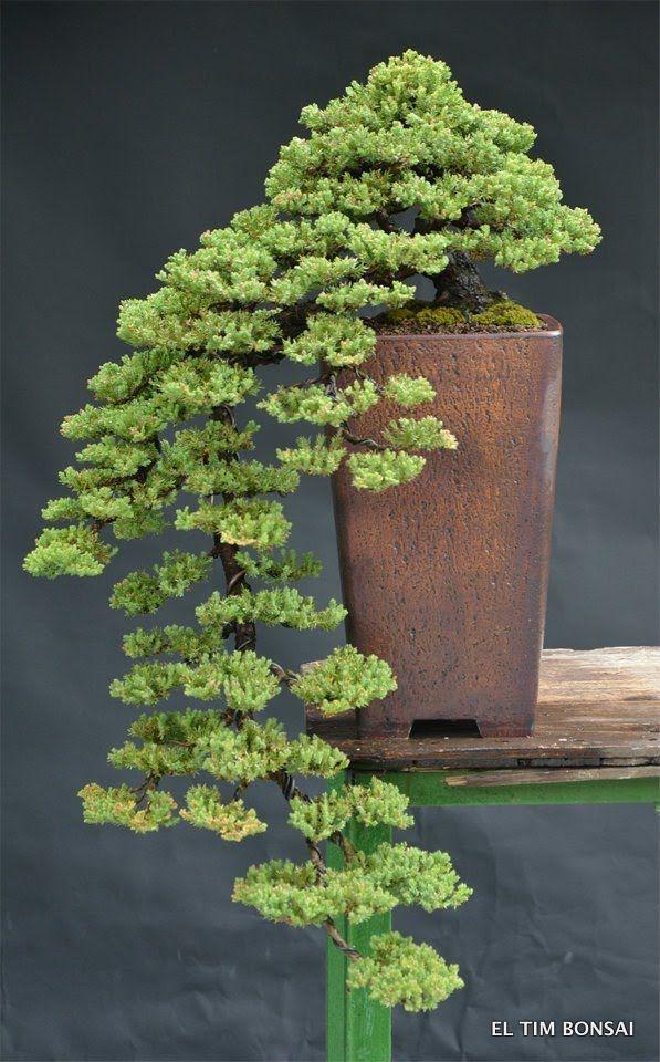 Procumbens Juniper Cascade Bonsai Bonsai Pinterest