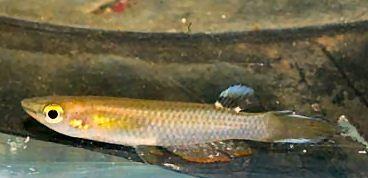 """PAN - Aplocheilus panchax panchax """"Kota Tinggi"""""""