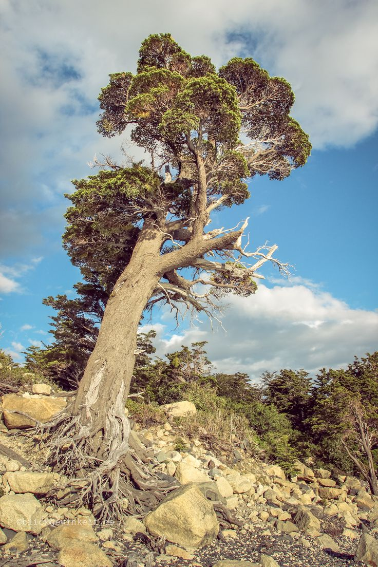 Lenga-Tree, Südbuche, Torres del Paine, Patagonia.
