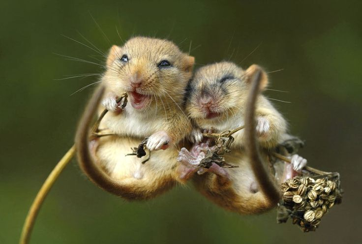 Say cheese! This is the adorable moment two tiny mice were spotted cuddling before bedtime. Pictured clutching onto a dried up reed, the beaming buddies seemed more than happy to pose
