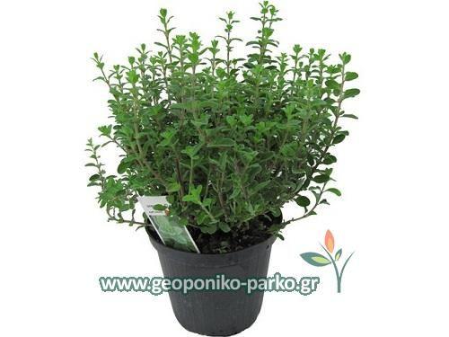 Αρωματικά φυτά - Φαρμακευτικά - Βότανα : Μαντζουράνα φυτό | Origanum majorana