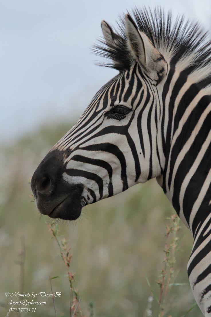 Zebra, Klapperkop, Pretoria