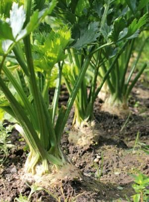 Como semear aipo - 7 passos - umComo