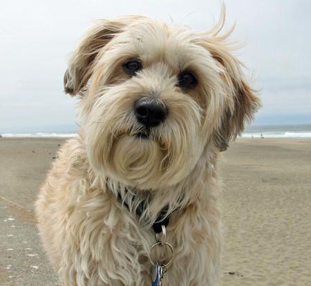 Mudge the Bichon Frise/Maltese/Soft Coated Wheaton Terrier Mixed Breed