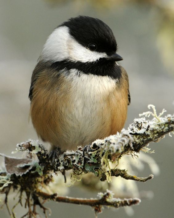 Fall Bird Feeder Wallpaper アメリカコガラ Black Capped Chickadee Parus Atricapillus