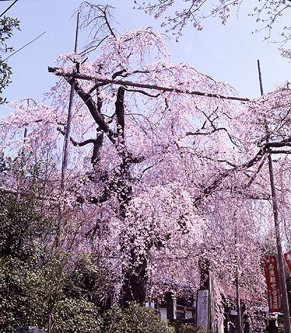 Drooping cherry tree of Senjyuin. Looking for more information aboout Shimane? Go Visit Matsue Tourist Association.  http://www.kankou-matsue.jp/